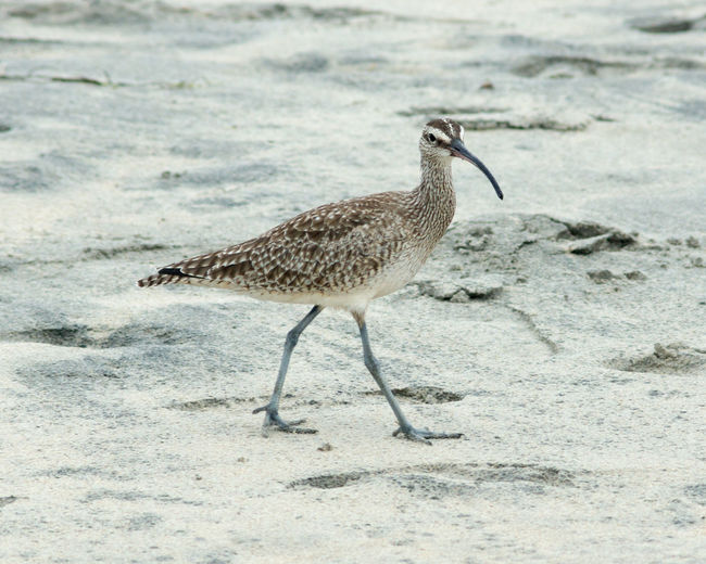 One Animal Animal Wildlife Animals In The Wild Bird Animal Themes Sand Nature No People Day Beach Full Length Outdoors