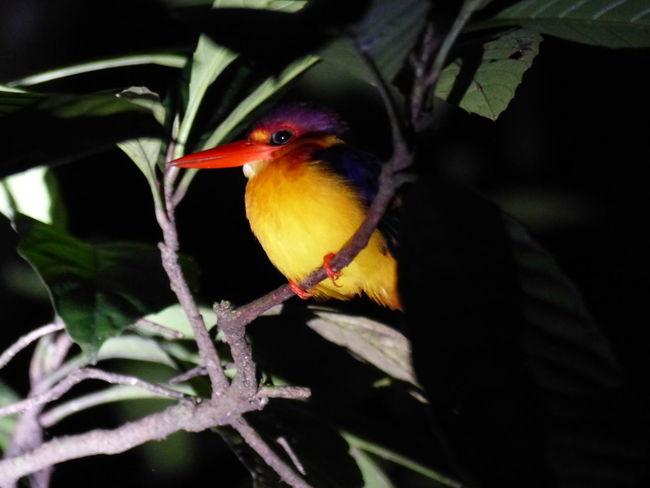 Animals Borneo Travel Backpacking Malaysia Traveling Kingfisher Kinabatangan Birds EyeEm Birds #jungle