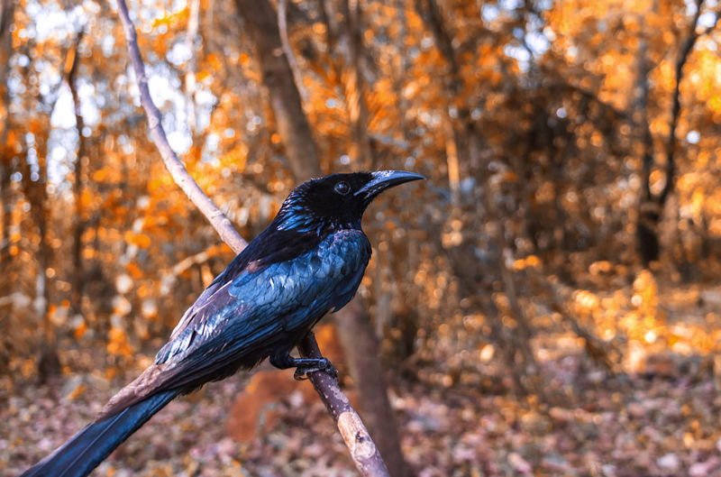 Animal Themes Tree Bird Animal One Animal Animal Wildlife Animals In The Wild Vertebrate Perching Nature Focus On Foreground Day Outdoors No People Black Color Autumn Plant Land Forest Branch Change Profile View