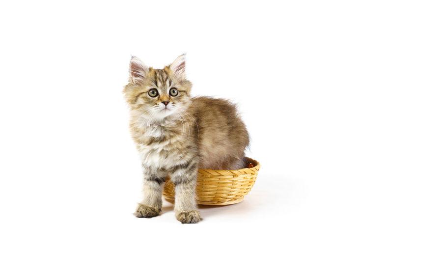 Portrait of tabby cat against white background