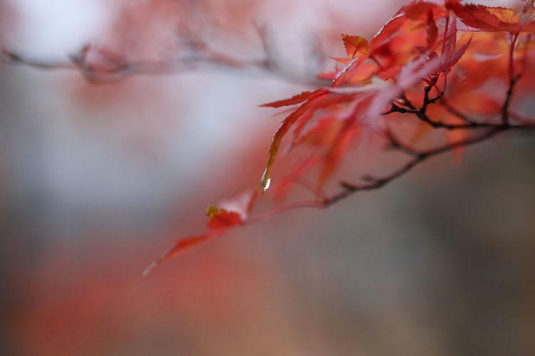 季節外れですが、箒川渓谷の紅葉2015。あいにくの雨でした。 Autumn Colors Autumn Leaves Macro Beauty Rain Rain Drops Rainy Days Red