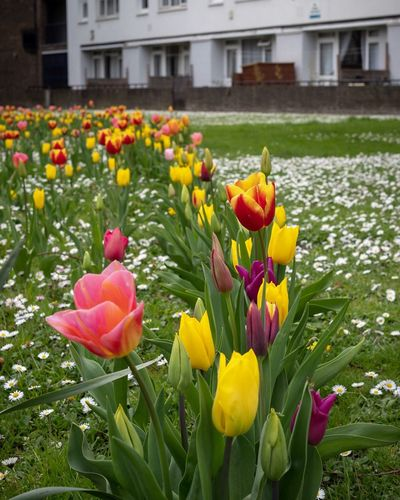 Tulips in London Spring Springtime Red Flowering Plant Flower Plant Vulnerability  Fragility Beauty In Nature Freshness Tulip Flower Head Yellow