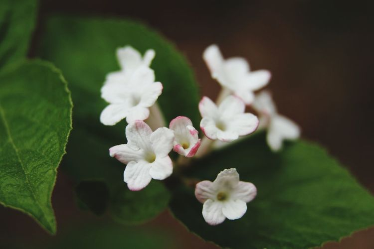 Viburnum carlesii Hemsl Korean spice viburnum Spring Flower Nature Photography Beauty In Nature White Stem Flower Head Flower Petal Blossom Springtime White Color Close-up Plant Stamen Flowering Plant Pollen Blooming Plant Life In Bloom Pistil