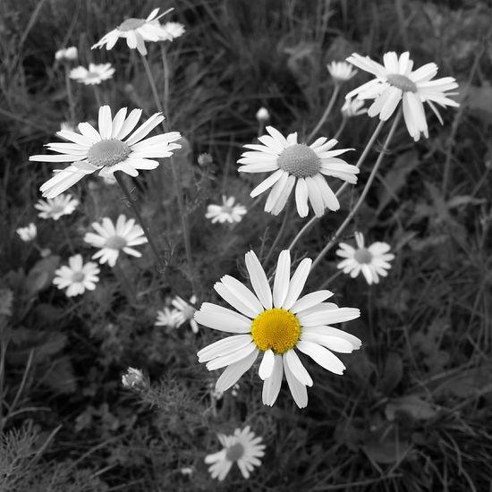 Kamille Wildflowers Blackandwhiteandcolor Blackandyellow Photoart Art Floral EyeEm Nature Lover Eye4photography  Beautiful Nature