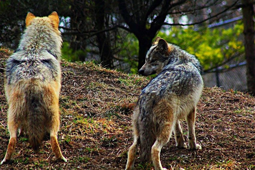Wolves at the zoo. Wolf Wolfpack Wolves♥ Wolvesarelife Wolvesofinstagram Wolfphotography Zoo Animals  ZOO-PHOTO Zoophotography ZooLife Zoo Day Animal Photography Animal_collection Animallovers Animalphotography Animal Love Animalsofinstagram Animal Lover Wildanimals