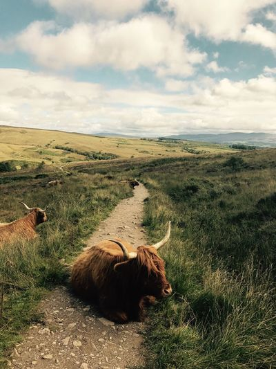 West Highlands Cloud - Sky Highland Cattle Landscape West Highland Way
