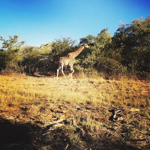 Africa Southafrica South Africa Safari Savane Giraffe Mabula Gauteng Beatiful