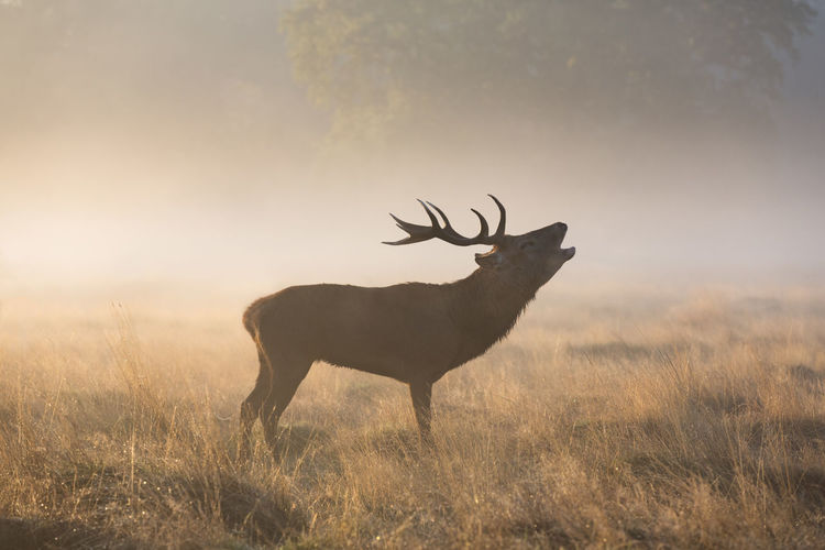 Deer standing on field during sunset