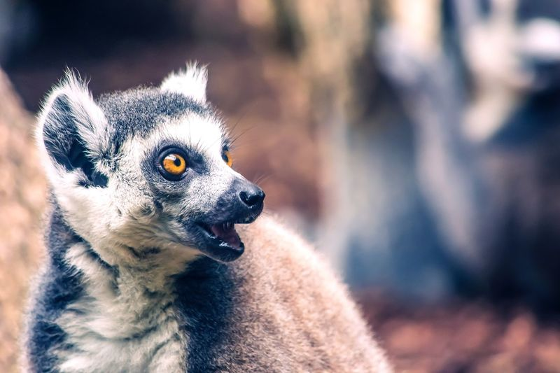Close-up of lemur looking away in forest