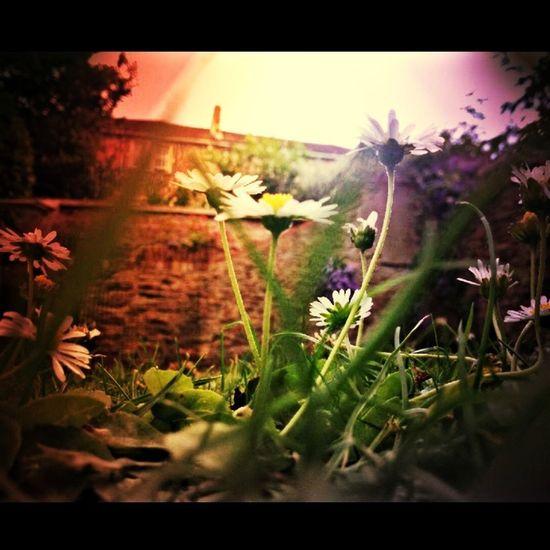 Colour Daisy Garden England