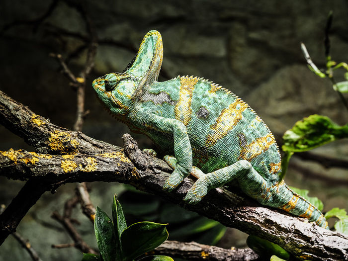 Close-up of chameleon on branch