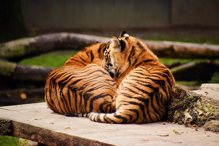 Tiger relaxing on wood in zoo