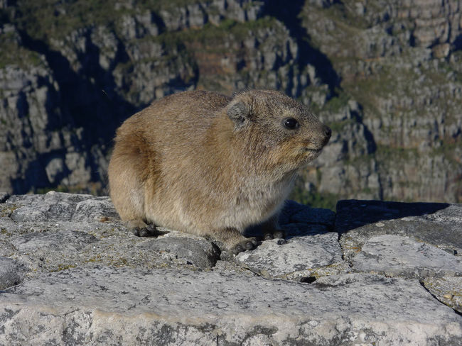 Animal Themes Animal Wildlife Animals In The Wild Cape Of Good Hope Close-up Dassie Day Klippschliefer Mammal Nature No People One Animal Outdoors Rock - Object