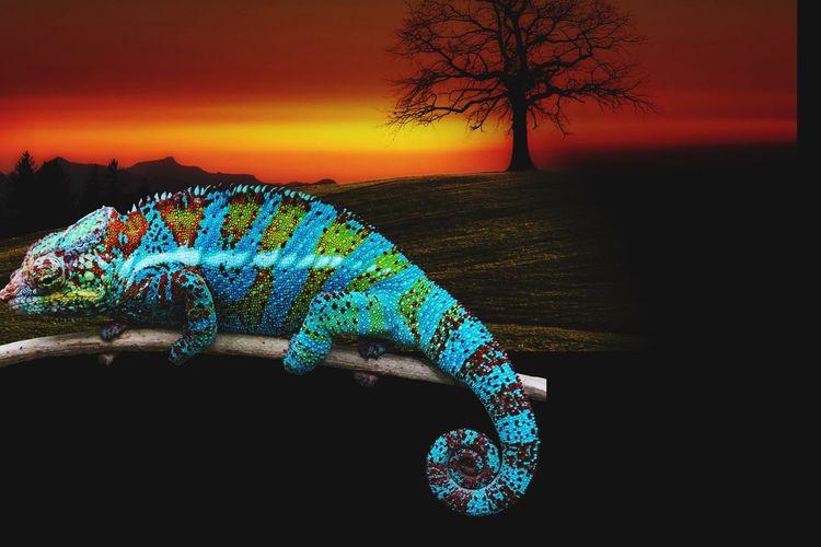 Lizard sunset