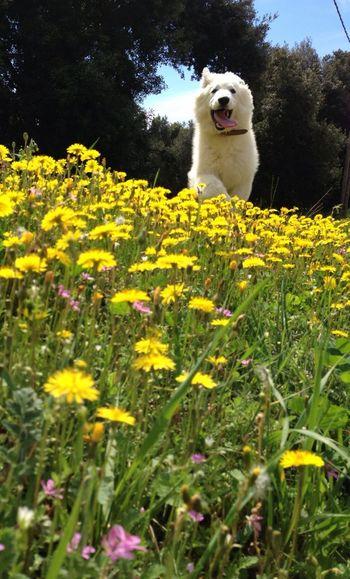 La primavera és bonica perquè sí Gos Pastor Blanc Suís Berger Blanc Suisse White German Shepherd
