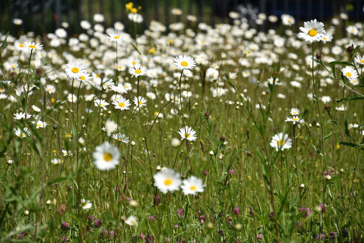 Beauty In Nature Close-up Daisy Day Field Flower Flower Head Flowerbed Flowering Plant Fragility Freshness Growth Inflorescence Land Nature No People Outdoors Petal Plant Selective Focus Springtime Vulnerability  White Color