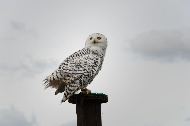 Low Angle View Of Owl Perching On Pole Against Sky