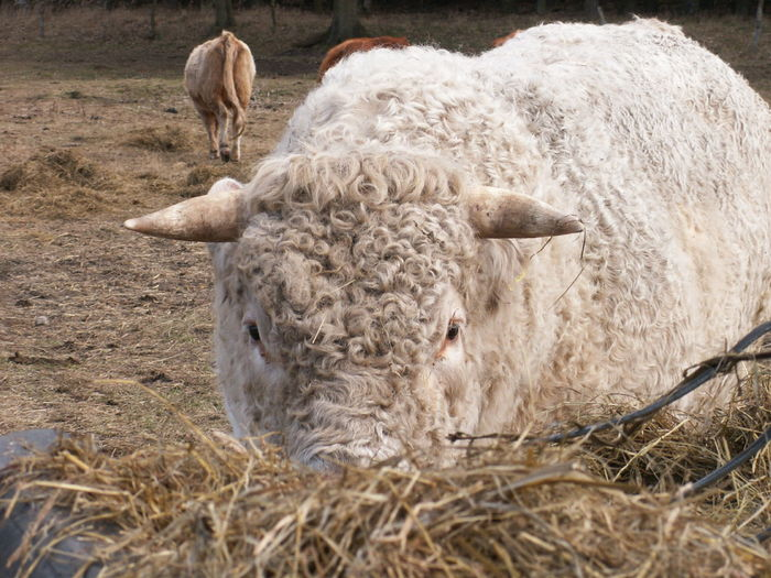 cattle / bull Agriculture Animal Themes Bull Cattle Close-up Cow Day Domestic Animals Grass Grazing Hay Highland Cattle Livestock Mammal Nature No People One Animal Outdoors Rural Scene Sheep
