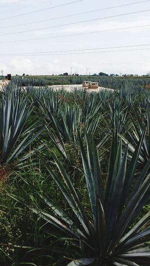 TequilaJalisco Agave Plant Green