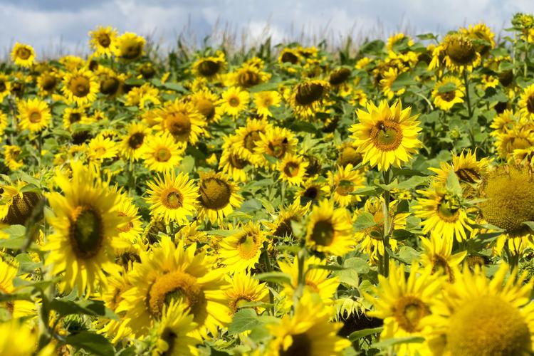 Close up of sunflower on field Sonnenblumen💫🌞 Beauty In Nature Close-up Flower Flower Head Nature Outdoors Sonnenblumenfeld Sunflowers Sunflowers🌻 Yellow