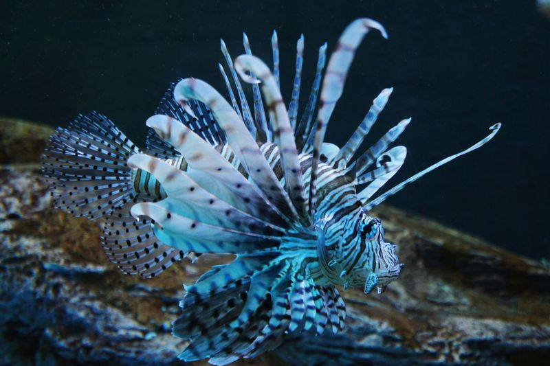 Close-up of lion fish in tank