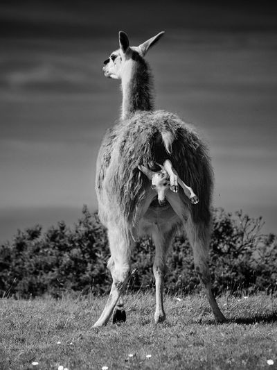 Llama giving birth on field
