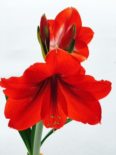Flowers Red Beautiful Colors Showcase: January Amaryllis Beautiful Blossoms Beautiful Bloom Stunning