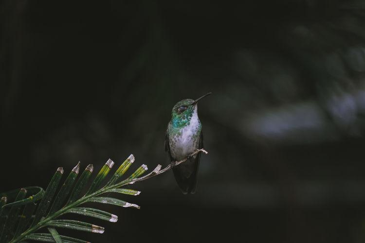 Versicolored emerald hummingbird