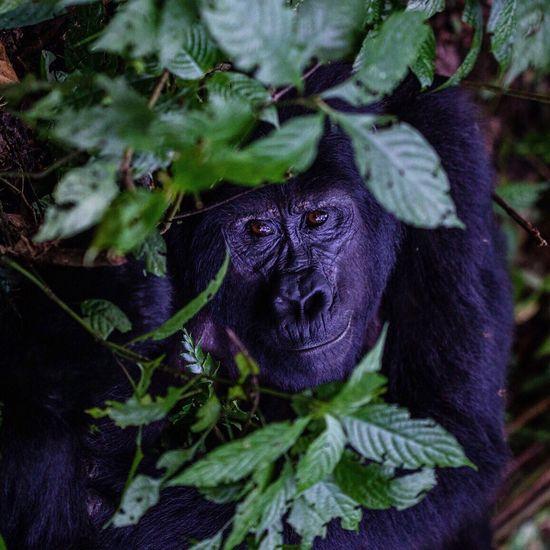 Close-up of gorilla amongst plant