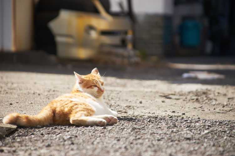 Ginger Cat Outdoors