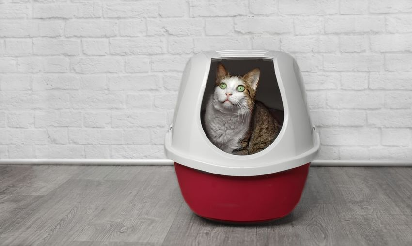 Cute tabby cat sitting in a red litter box and looking sideways. Cats Of EyeEm Litter Box Animal Head  Animal Themes Cat Crate Defecation Domestic Domestic Animals Domestic Cat Flooring Hardwood Floor Indoors  Mammal No People One Animal Pentax Porous Portrait Red Sitting Table Vertebrate Wall - Building Feature White Color