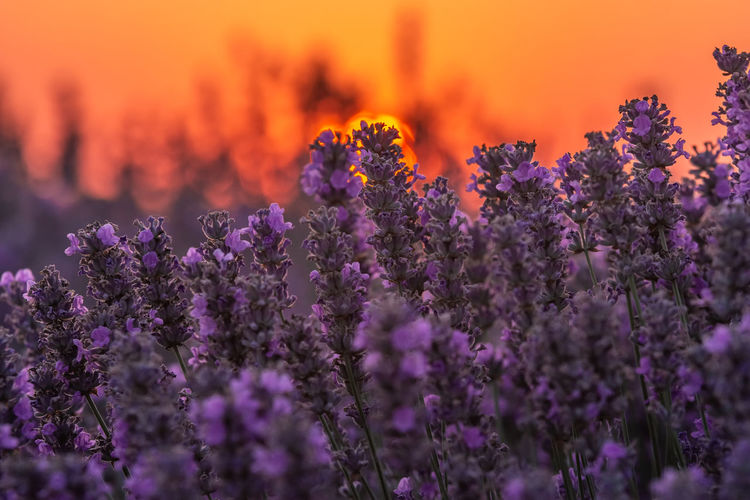 Close-up of purple flowers on field during sunset