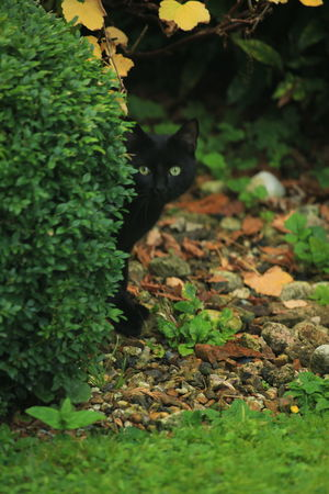 Cats Of EyeEm Green Eyes Green Nature Green Eyed Cat Black Cat Photography Black Cat Collection Pets Photography Taking Photos 3XSPUnity Close-up Eyem Nature Eyem Nature Lover Beautiful Nature Beauty In Nature My Garden Hiding