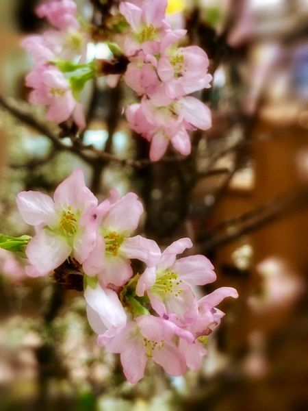 Sakura 🌸Cherry blossoms Flower Pink Color Fragility Nature Freshness Beauty In Nature Growth Petal Close-up Flower Head No People Blooming Day Outdoors Cherry Blossoms Flowers Flower Collection Flowers,Plants & Garden Flowers, Nature And Beauty Early Spring Spring Winter