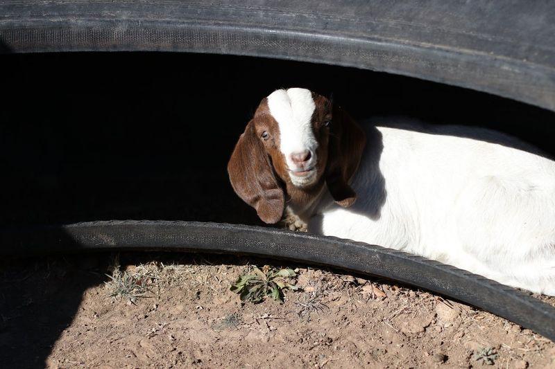 Animal Themes One Animal Mammal Livestock Animal Head  Outdoors Close-up Day