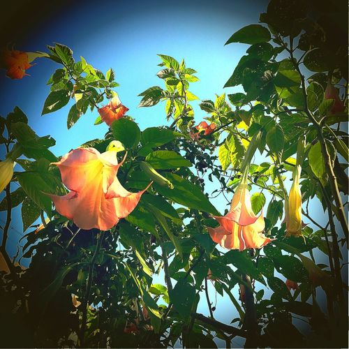 Engelstrompete Flower Freshness Orange Color Nature Fragility