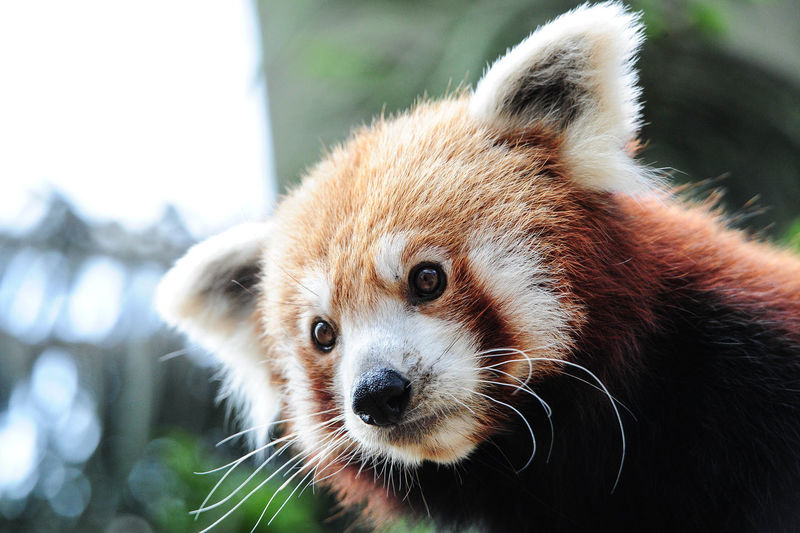 Close-up of red panda looking down