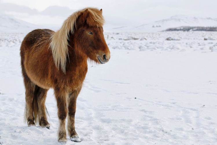 Icelandic horse on snowy landscape