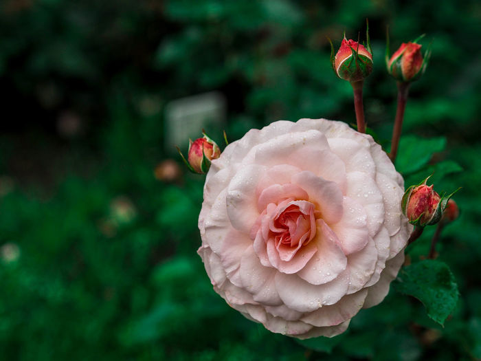 Beauty In Nature Close-up Day Flower Flower Head Flowering Plant Focus On Foreground Fragility Freshness Growth Inflorescence Nature No People Outdoors Petal Pink Color Plant Rosé Rose - Flower Vulnerability