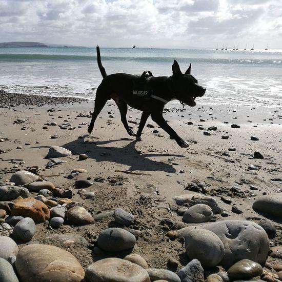 Loki American Staffordshire Terrier Flying Dog Ocean Beach Bretagne Outdoors Not Dangerous