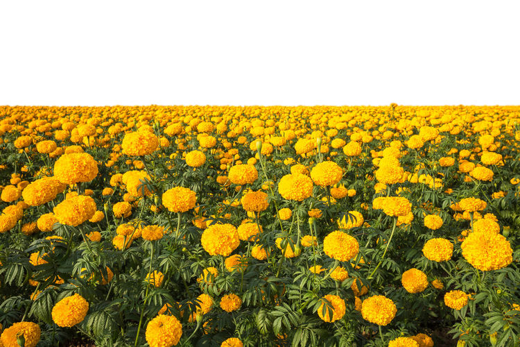 Scenic view of sunflower field against clear sky