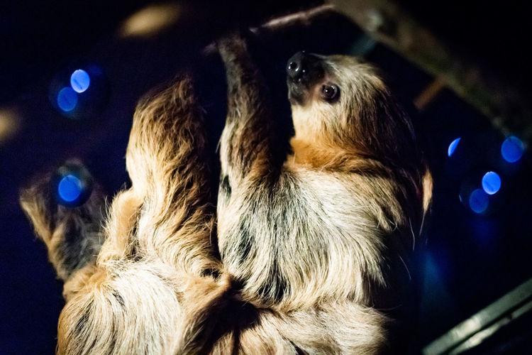 Two-toed sloth (Choloepus didactylus) Choloepus Didactylus Endangered Species Hanging Nightime Animal Mammal Night No People Nocturnal One Animal Rainforest Sleepy Sloth Two-toed Sloth Upside Down Vertebrate Wildlife