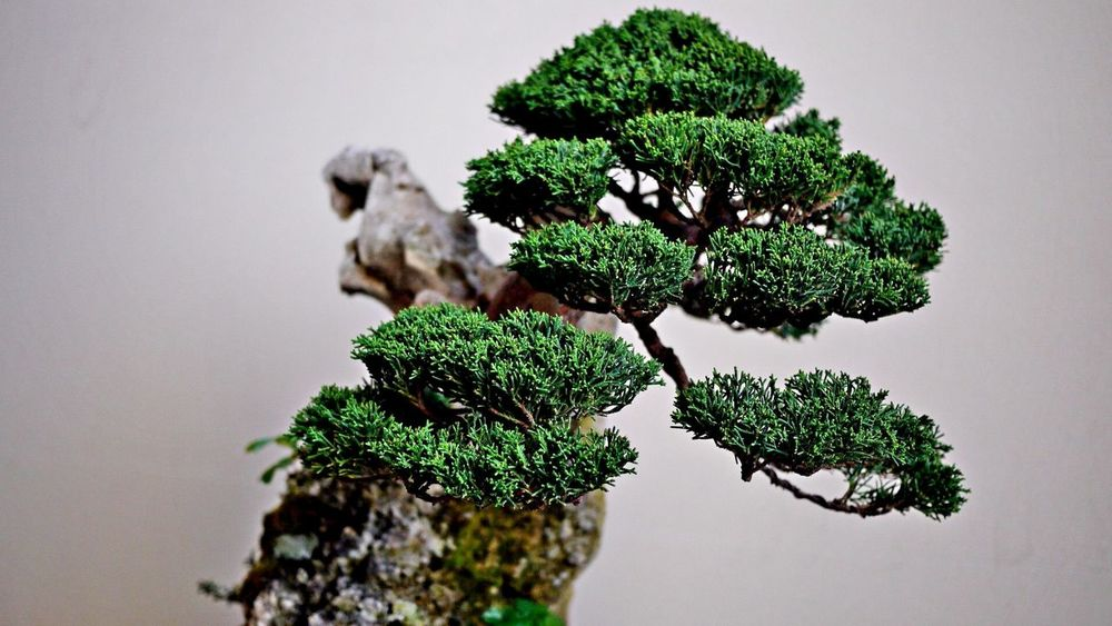 Bonzai Bonsai Tree Close-up Day Freshness Green Color Growth Indoors  Nature No People Plant Studio Shot Tree White Background