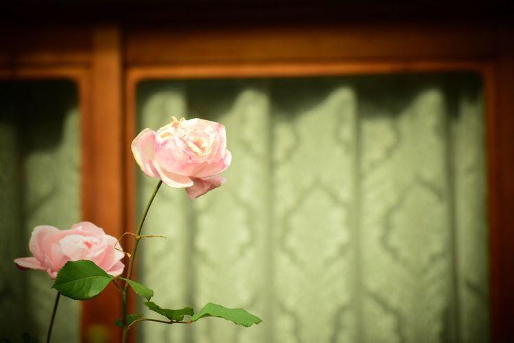 日常 生きる Life Force Streetphotography Flower Nature Beauty In Nature Freshness Pink Color Day Beauty In Nature Window Window View Nostalgie Nostalgia Rose🌹