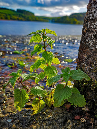 Nettles Water Close-up Water Leaf Flower Close-up Sky Plant Green Color Plant Life Blooming Botany Shore Water Plant