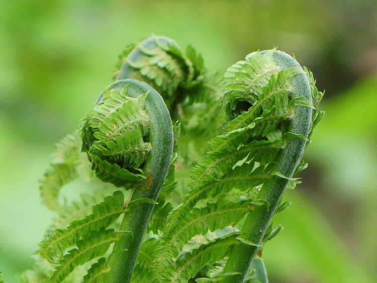 A trio in perfect natural harmony.... Shuttlecock Fern Green Color Nature Close-up No People Day Beauty In Nature Outdoors Unfurling Fern Harmony In Nature Spring Is In The Air Sunshine Plant Beauty In Nature Growth The Architect - 2017 EyeEm Awards