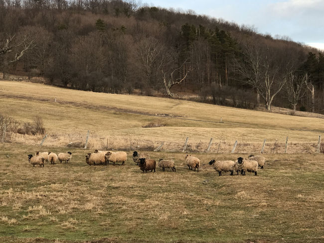 Animal Themes Animals In The Wild Beauty In Nature Day Field Grass Large Group Of Animals Mammal Nature No People Outdoors Sheep Tree