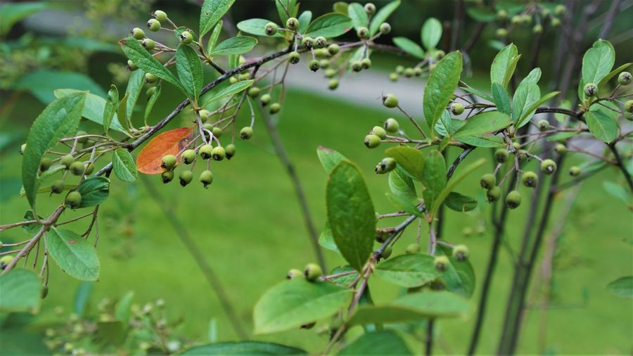 First sign of autumn coming... Aronia Autumn Autumn Leaves Red Autumn🍁🍁🍁 Beauty In Nature Close-up Day Focus On Foreground Food Food And Drink Freshness Fruit Green Color Growth Healthy Eating Leaf Nature No People Outdoors Plant Plant Part Ripe Selective Focus Tree