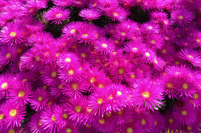 Pink Mesembryanthemum. Abundance Backgrounds Beauty In Nature Blooming Botany Close-up Day Detail Flower Flower Head Fragility Freshness Full Frame Growth In Bloom Multi Colored Natural Pattern Nature Outdoors Petal Pink Color Plant Purple Selective Focus Showcase April