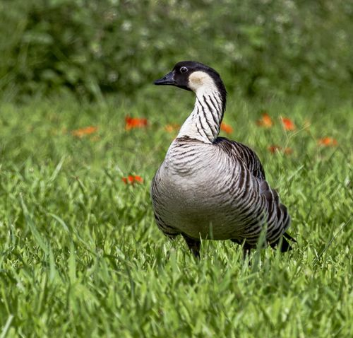 Nēnē the Endangered Hawaii Goose Hawaii Animal Themes Animal Wildlife Animals In The Wild Beauty In Nature Bird Close-up Day Field Goose Grass Nature No People One Animal Outdoors